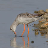 Spotted Redshank (3)