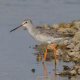 Spotted Redshank (4)
