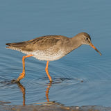 Common Redshank (1)