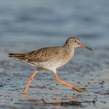 Common Redshank (3)