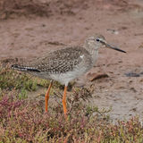 Common Redshank (6)