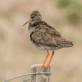 Common Redshank (7)