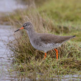 Common Redshank (9)