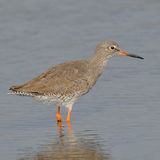 Common Redshank (10)