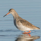 Common Redshank (11)