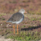 Common Redshank (12)