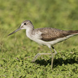 Common Greenshank (2)