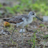 Common Greenshank (3)
