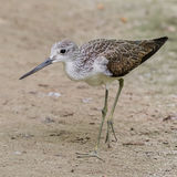 Common Greenshank (4)