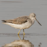 Common Greenshank (5)