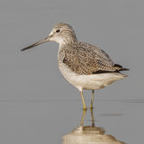 Common Greenshank (6)