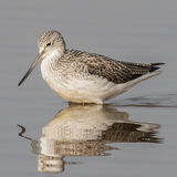 Common Greenshank (7)