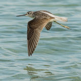 Common Greenshank (8)