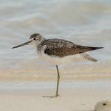 Common Greenshank (9)