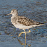 Common Greenshank (10)