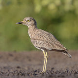 Senegal Thick-knee (1)