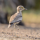 Senegal Thick-knee (2)
