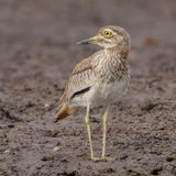 Senegal Thick-knee (3)