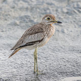 Senegal Thick-knee (4)