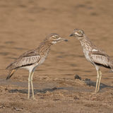 Water Thick-knee (1)