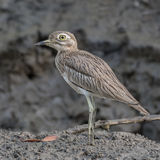 Senegal Thick-knee (5)