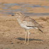 Water Thick-knee (2)