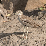 Water Thick-knee (4)