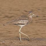 Water Thick-knee (3)