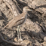 Water Thick-knee (5)