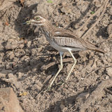 Water Thick-knee (6)