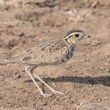 Three-banded Courser (2)