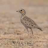 Three-banded Courser (3)