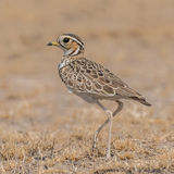 Three-banded Courser (4)
