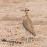 Temminck's Courser (1)