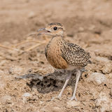 Temminck's Courser (2)