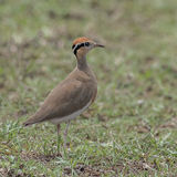 Temminck's Courser (3)
