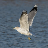 Common Gull (1)