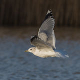 Common Gull (3)