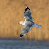 Common Gull (4)