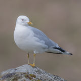 Common Gull (5)