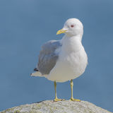 Common Gull (6)