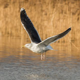 Great Black-backed Gull (1)