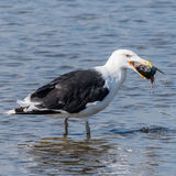 Great Black-backed Gull (2)