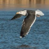 Great Black-backed Gull (3)