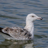 Great Black-backed Gull (4)