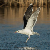 Great Black-backed Gull (5)