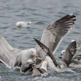 Great Black-backed Gull (6)