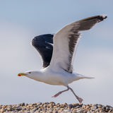 Great Black-backed Gull (7)