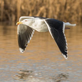 Great Black-backed Gull (8)