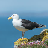 Great Black-backed Gull (9)